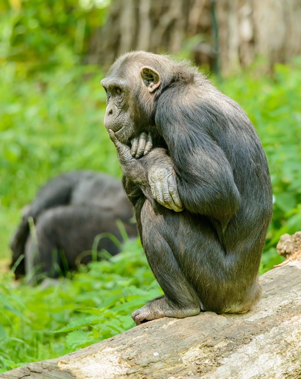 an ape sitting on concrete